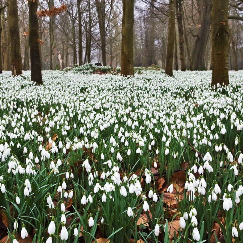snowdrops-view-2