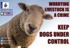 sheep-worrying